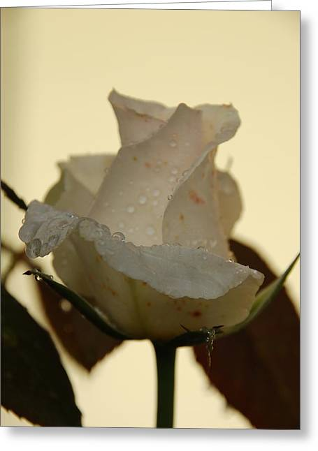 A Single White Rose Greeting Card
