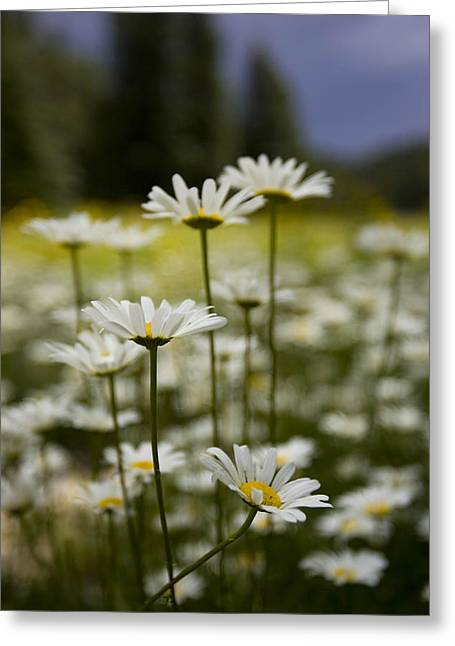 A Small Group Of Daisies Stands Greeting Card by Ralph Lee Hopkins