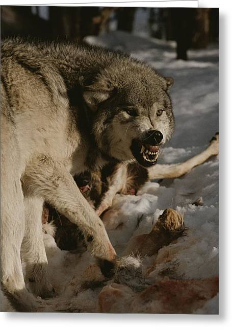 A Snarling Alpha Male Gray Wolf, Canis Greeting Card by Jim And Jamie Dutcher