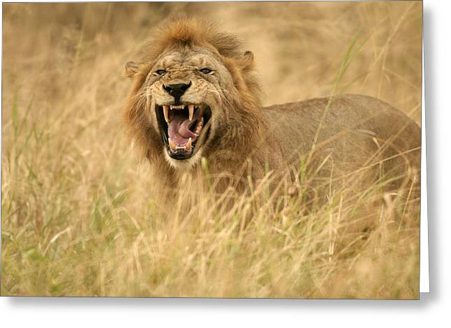 A Snarling Male African Lion In Tall Greeting Card by Roy Toft