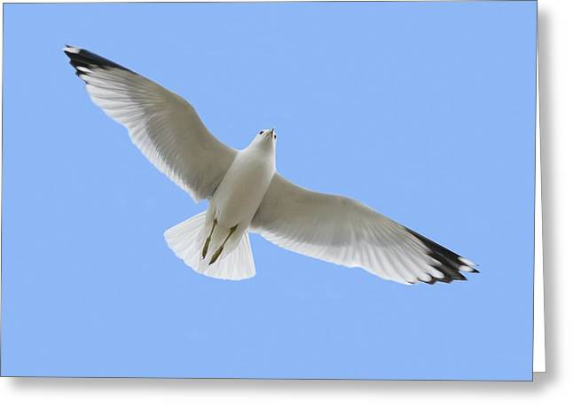 A Soaring Dove Greeting Card by Don Hammond