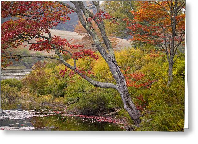 A Soft Maple Tree At Long Pond Greeting Card