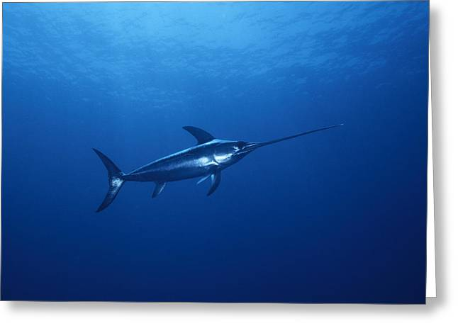 A Solitary Broadbill Swordfish Swimming Greeting Card by Brian J. Skerry