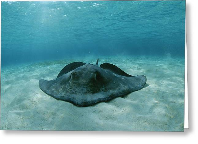 A Southern Stingray, Dasyatis Greeting Card by Brian J. Skerry