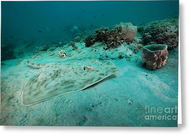 A Southern Stingray On The Sandy Bottom Greeting Card by Michael Wood