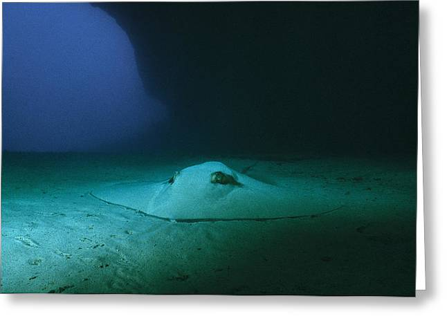 A Southern Stingray Resting On The Sea Greeting Card by Wolcott Henry