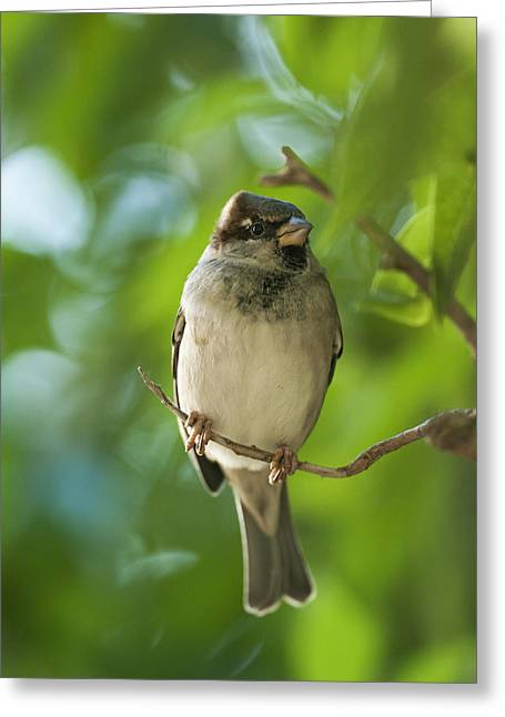 A Sparrow Perched On A Small Branch Greeting Card by Ben Welsh