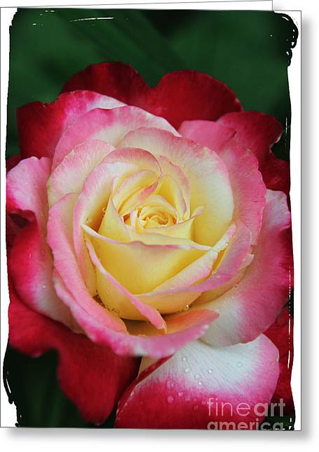 A Special Rose Greeting Card