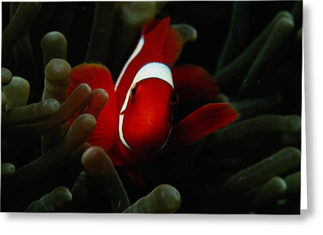 A Spinecheek Anemonefish Premnas Greeting Card by Tim Laman