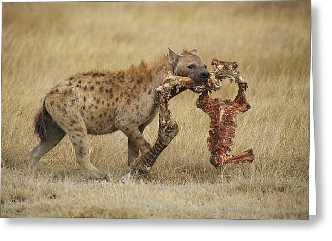 A Spotted Hyena Carries A Piece Greeting Card by Tim Laman