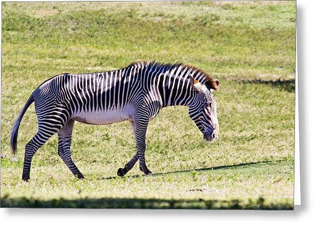 A Striped Ass Greeting Card by Nicholas Evans