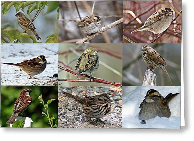 A Study In Sparrows Greeting Card by Joe Faherty
