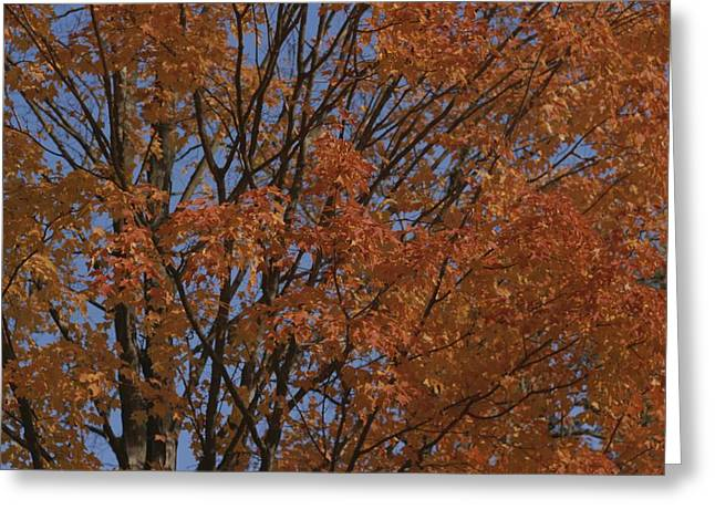 A Sugar Maple Blazes With Fall Color Greeting Card