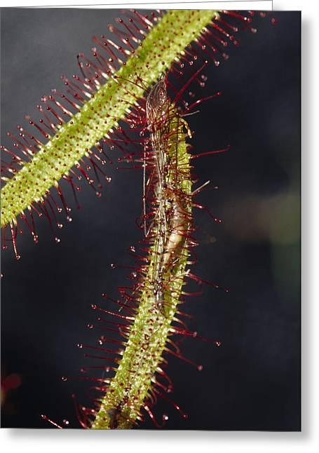 A Sundew Carnivourous Plant, Drosera Greeting Card by Jason Edwards