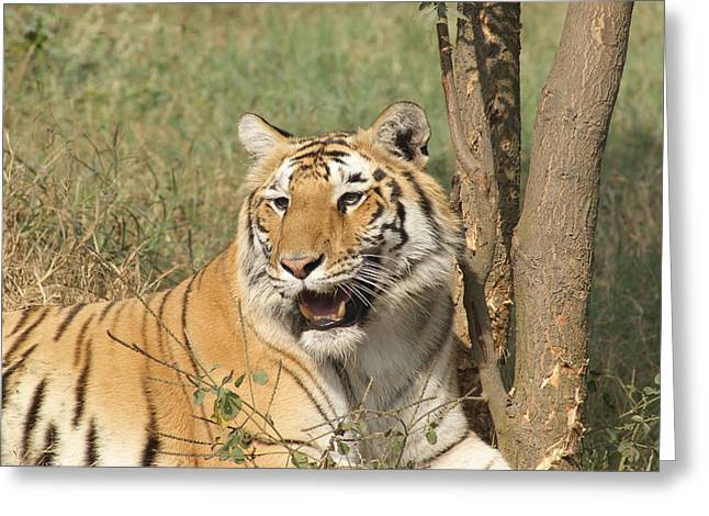 A Tiger Lying Casually But Fully Alert Greeting Card