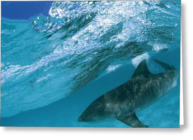 A Tiger Shark Cruising Blue Waters Greeting Card by Bill Curtsinger