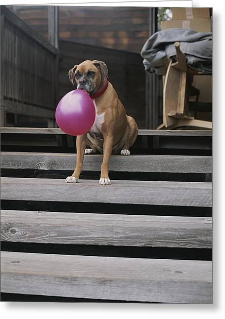 A Tough Looking Boxer Delicately Holds Greeting Card by Marc Moritsch