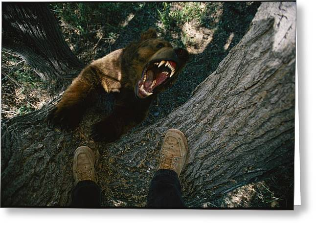 A Trained Bear Trees Photographer Joel Greeting Card by Joel Sartore