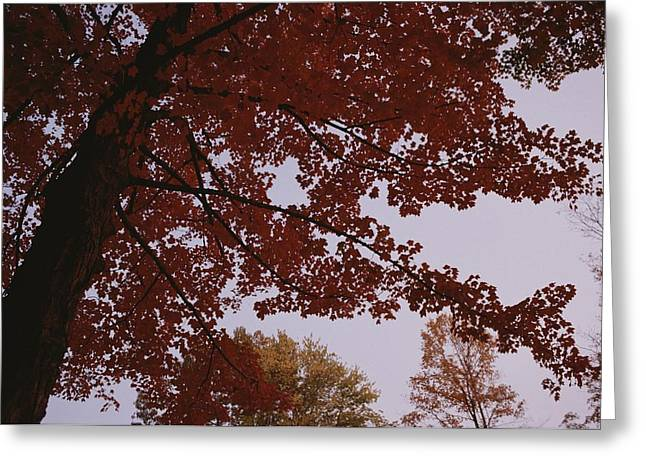 A Tree Displays Bright Red Autumn Greeting Card by Stephen Alvarez