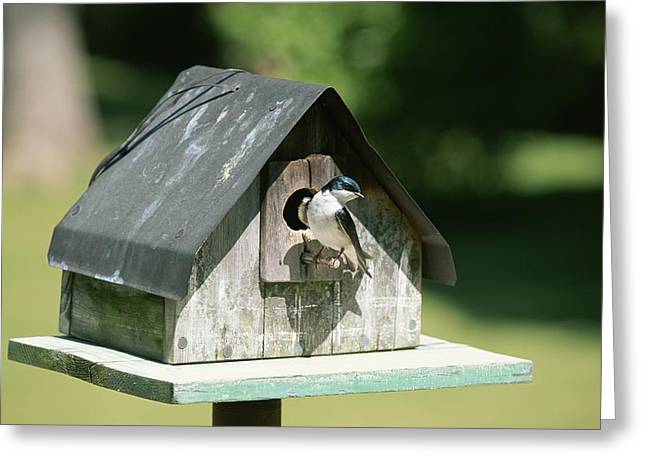 A Tree Swallow Perched Greeting Card by Taylor S. Kennedy