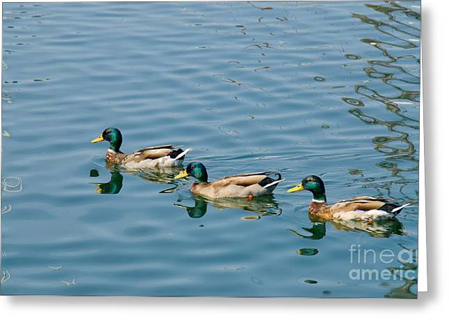 A Trio Of Mallards Greeting Card by Gerda Grice