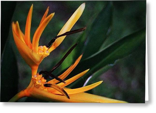 A Tropical Flower, Humming Birds Feed Greeting Card