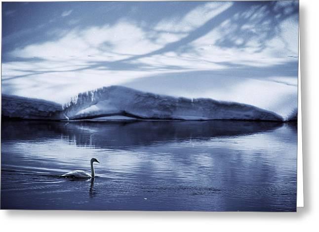 A Trumpeter Swan, Cygnus Buccinator Greeting Card