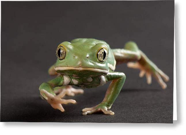 A Waxy Monkey Frog Phyllomedusa Greeting Card by Joel Sartore