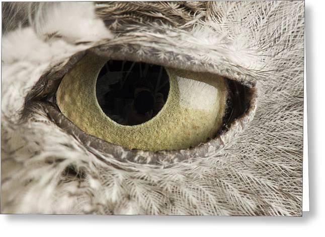 A Western Screech Owl Otus Kennicottii Greeting Card by Joel Sartore
