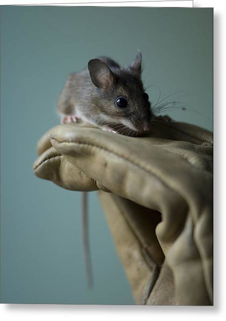 A White-footed Mouse Peromyscus Greeting Card by Joel Sartore