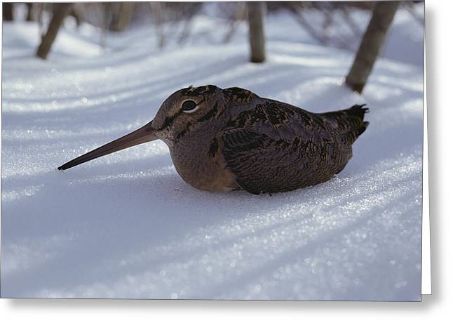 A Woodcock Sits In The Snow Greeting Card by Bill Curtsinger
