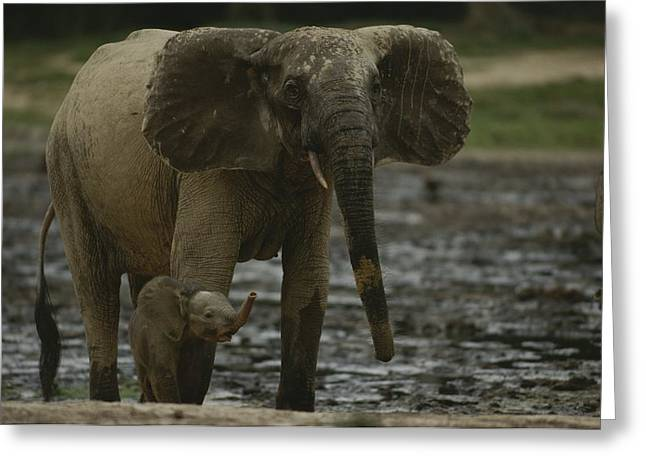 A Young Female Forest Elephant Stands Greeting Card by Michael Fay