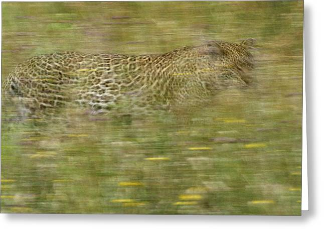 A Young Female Leopard Moving Greeting Card by Michael Melford