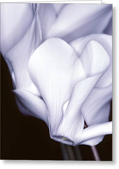 A76c6 Cyclamen Greeting Card