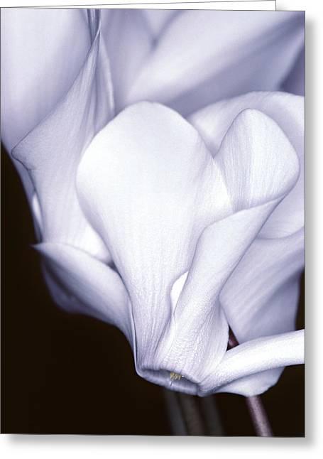 Silky Cyclamen Flowers Greeting Card
