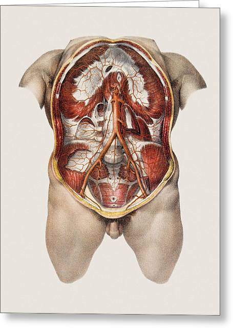 Abdominal Aorta Greeting Card by Mehau Kulyk
