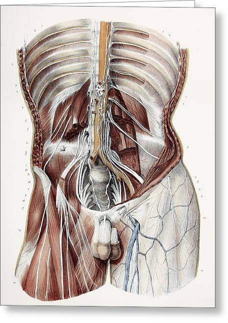 Abdominal Nerves, 1844 Artwork Greeting Card by