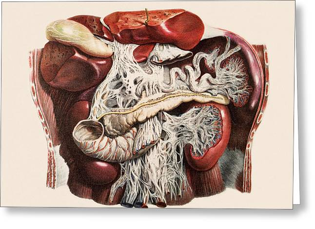 Abdominal Organs Greeting Card by Mehau Kulyk