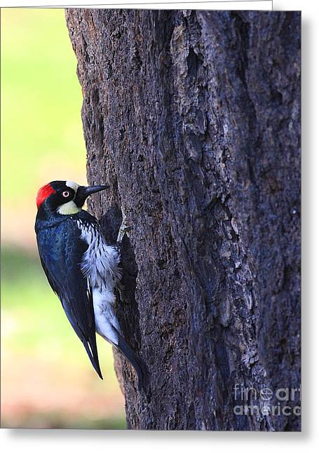 Acorn Woodpecker . 40d10893 Greeting Card by Wingsdomain Art and Photography