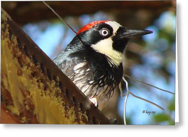 Greeting Card featuring the photograph Acorn Woodpecker by Linda Cox