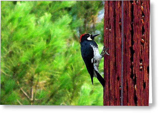 Acorn Woodpecker Greeting Card by Timothy Bulone