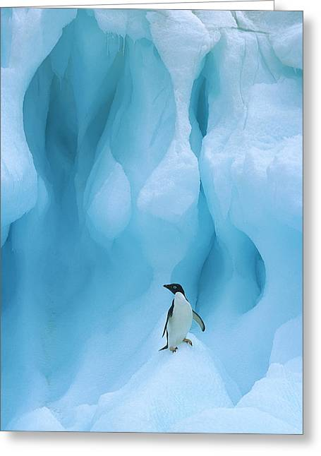 Adelie Penguin Pygoscelis Adeliae Greeting Card by Colin Monteath