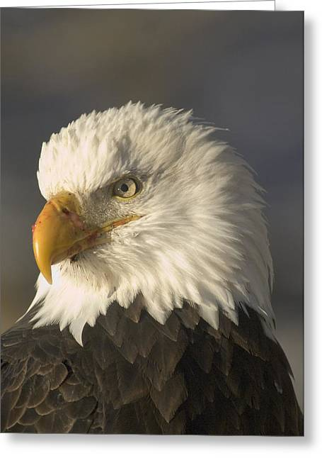 Adult Bald Eagle Greeting Card by Michael S. Quinton