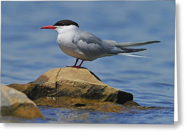 Adult Common Tern Greeting Card