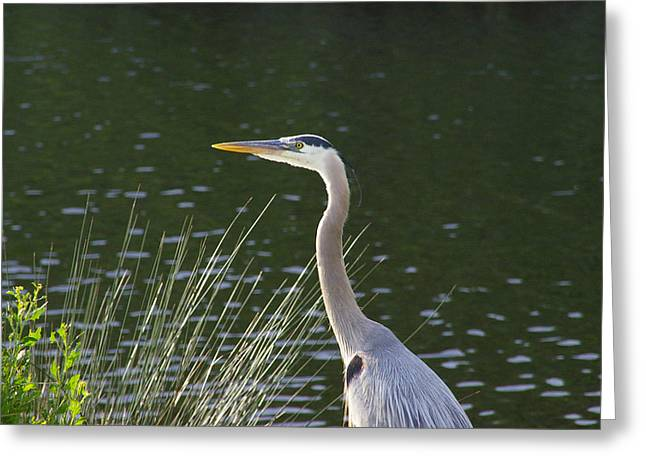 Greeting Card featuring the photograph Adult Great Blue Heron by Brian Wright