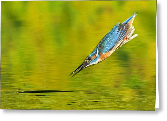 Adult Male Common Kingfisher, Alcedo Greeting Card by Joe Petersburger