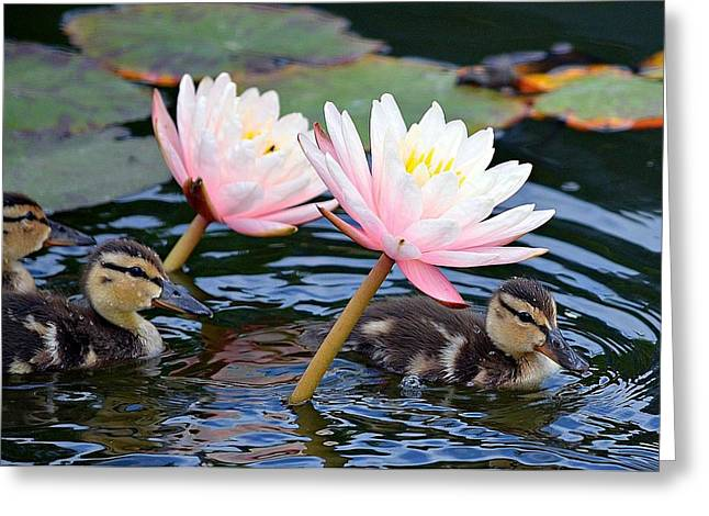 Afloat Among Lillies Greeting Card by Fraida Gutovich