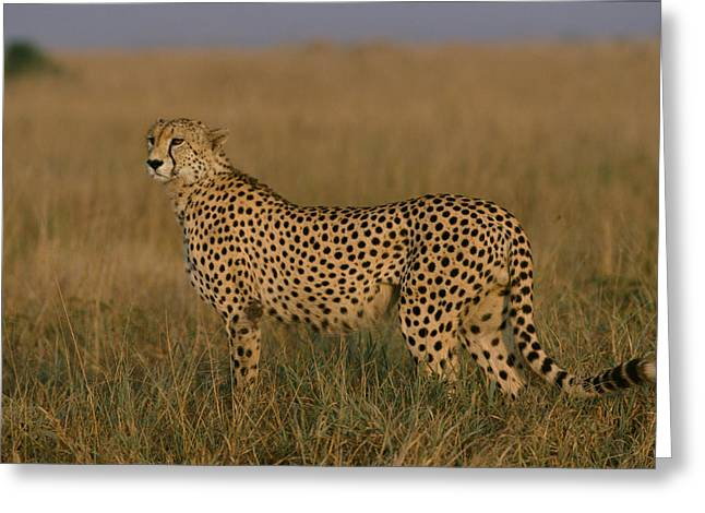 African Cheetah Acinonyx Jubatus Greeting Card by Michael Nichols