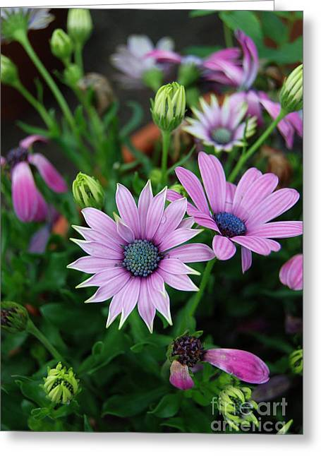 Greeting Card featuring the photograph African Daisy by Eva Kaufman
