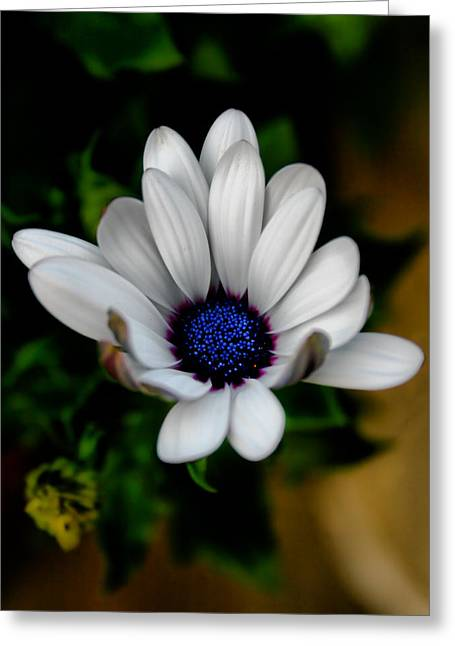 African Daisy Greeting Card by Lynne Jenkins